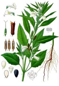 Illustration av sesamväxten