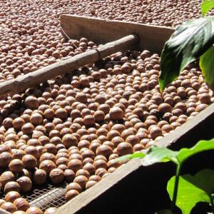 Macadamianötter