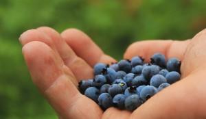 är blåbär förstoppande