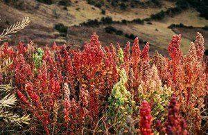 Quinoa växt