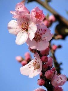 Blomma på mandelträd